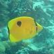 Indian Teardrop Butterflyfish