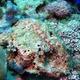 Redmarbled Lizardfish