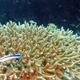 Goldbelly Cardinalfish