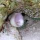 White-eyed Moray