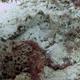 Reef Stonefish
