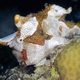 Painted Frogfish