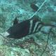 Bartail Parrotfish