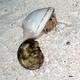 Australian Land Hermit Crab