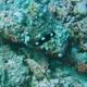 Axilspot Hogfish (Juvenile)