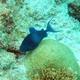 Redtooth Triggerfish