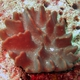 Ridged Leather Coral