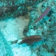 Longbarbel Goatfish