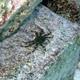 Green Flat Rock Crab