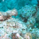Yellow-and-Whitestriped Pygmygoby