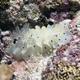 Maricola Sea Slug
