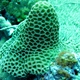 Tombstone Coral
