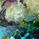 Threespot Damselfish (Juvenile)