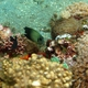 Mimic Surgeonfish (Juvenile)