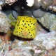 Yellow Boxfish (Juvenile)