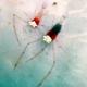Mushroom Coral Ghost Shrimp