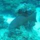 Leopard Coral Grouper