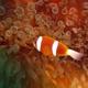 Barrier Reef Anemonefish