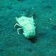 Flathead Lobster