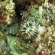 Tear-lobed Coral