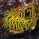 Red-and-Yellow Clathria