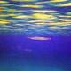 Red Sea Needlefish