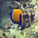 Blue-girdled Angelfish
