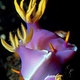Apolegma Nudibranch