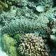 Pineapple Sea Cucumber