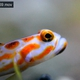 Red-striped Shrimpgoby