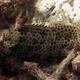 Longfin Grouper