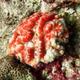 Radiant Coral