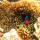 Red-and-Black Anemonefish
