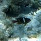 Monarch Damsel (Juvenile)