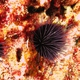 Burrowing Sea Urchin