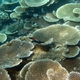 Lattice Coral