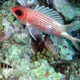 Red-spotted Hawkfish