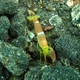 Fine-striped Snapping Shrimp
