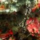 Ornate Ghostpipefish