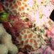 False Pillow Coral
