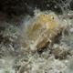 Hispid Frogfish (Juvenile)