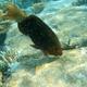 Greenthroat Parrotfish