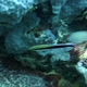 False Cleanerfish