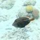 Orange-spotted Filefish