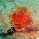Shortfin Lionfish