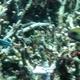 Greensnout Parrotfish
