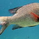 Humpnose Bigeye Bream