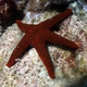 Black-spotted Sea Star