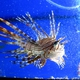 Andover Lionfish
