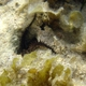 Prickly Brittle Star
